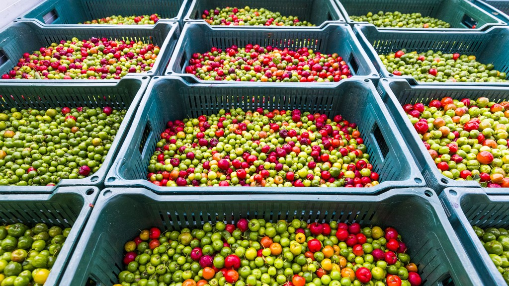 Freshly picked acerola cherries packed with vitamin
